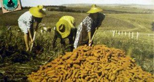 iclod recoltare 1980 muncitori morcovi camp