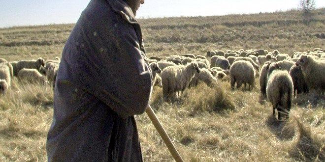 stana cioban oi