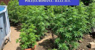 cannabis cultura curte cluj