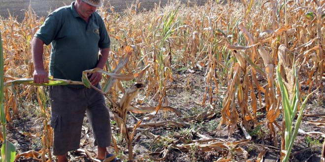 agricultor porumb seceta agricultura