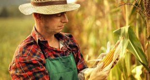 porumb agricultor