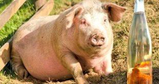porc tuica
