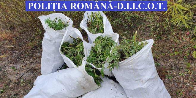 sac cannabis droguri prechezitie cluj alba bistrita