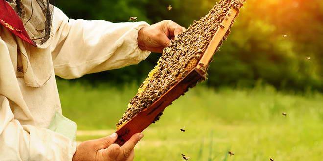 apicultor albine